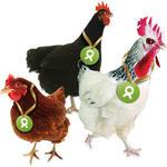 Gackernde Hühner